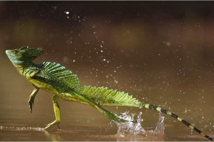 Basilic-Amazonie
