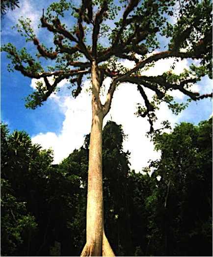Ceiba-Tikal-Guatemala