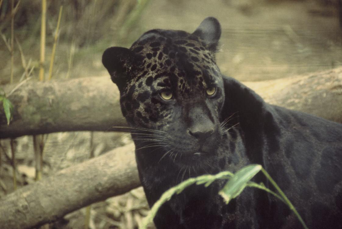 Le Jaguar, superpredateur d'Amazonie - photo#16