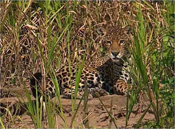 Jaguar-ManuNationalPark