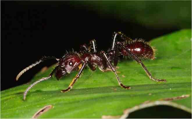 Fourmi-Paraponera-Amazonie