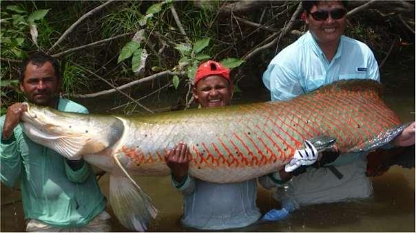 Amazonie-Pirarucu