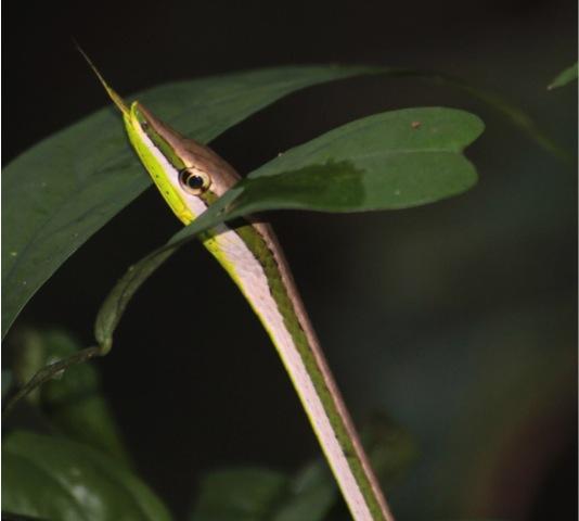 Serpent-Liane-Equateur