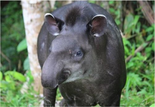 Tapir-Amazonie