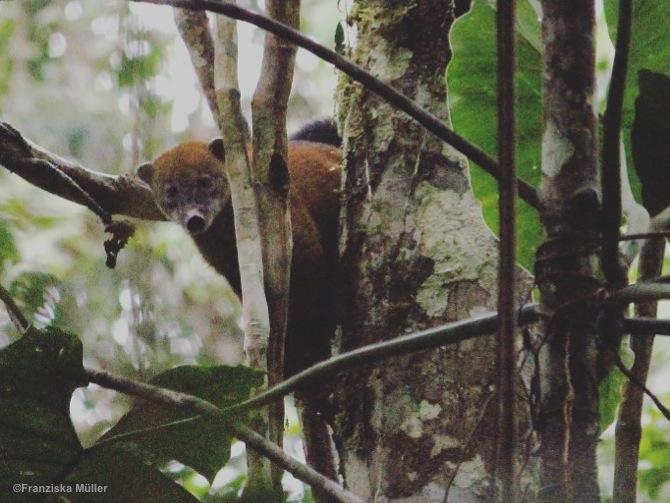 Coati-TrekEquateur