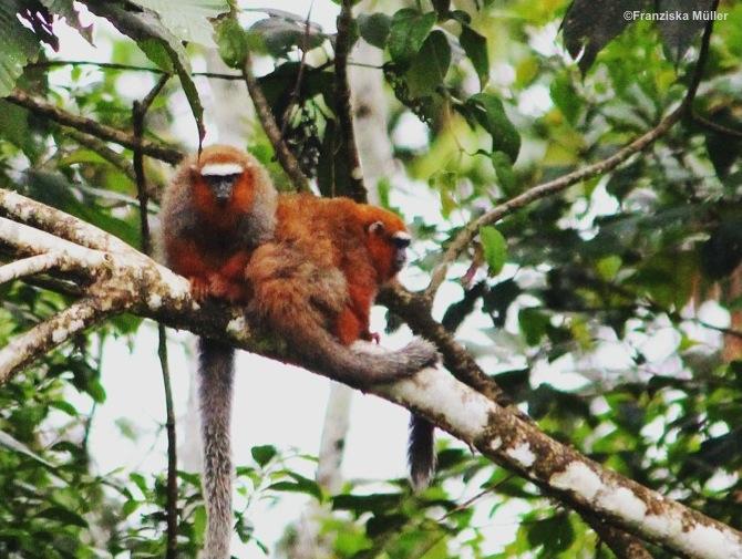Singe-Roux-Yasuni-Equateur