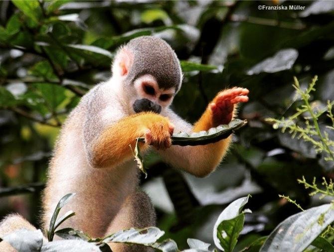 SingeSapajou-Yasuni-Equateur