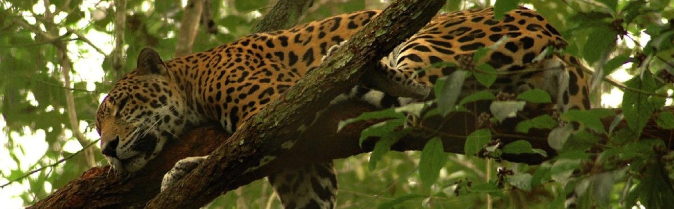 CircuitPerou-Jaguar-Amazonie