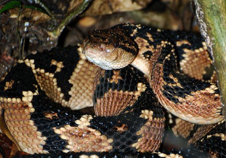 Serpent-Maitre-Brousse