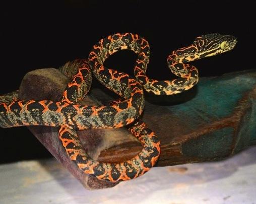 Serpent-Yasuni