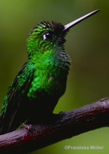 Colibri-Equateur