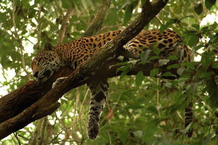 Gayatrek-Terre-Jaguar