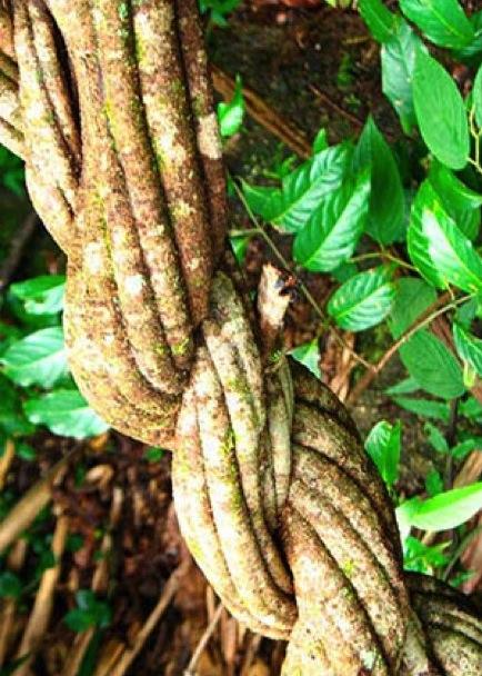 liane-ayahuasca