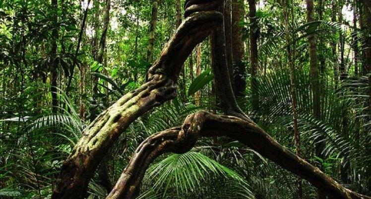 plante-ayahuasca