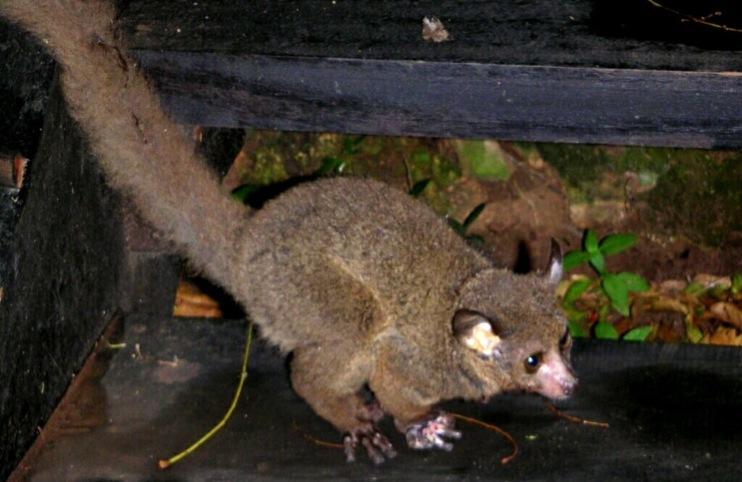 Bushbaby-Kili