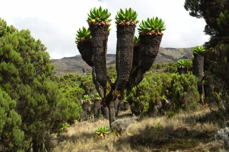 kilimanjaro-plantes